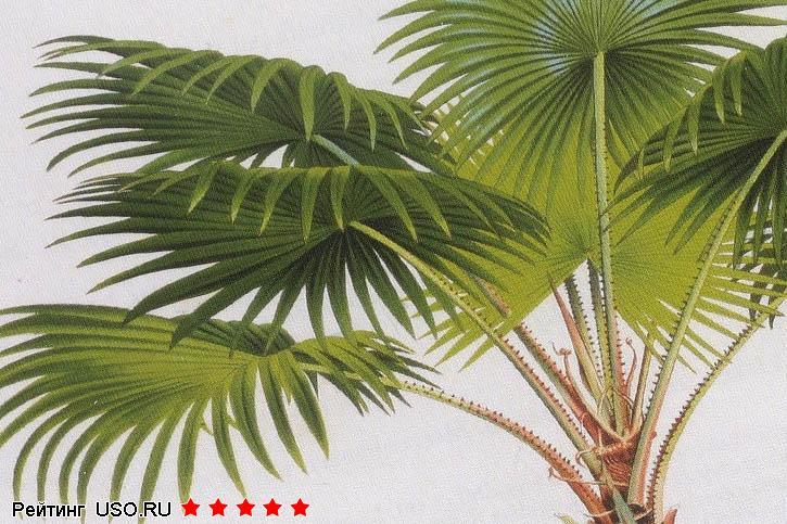 финиковая пальма из косточки в домашних условиях как