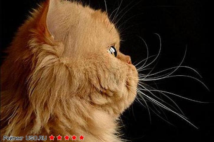 Персидского кота